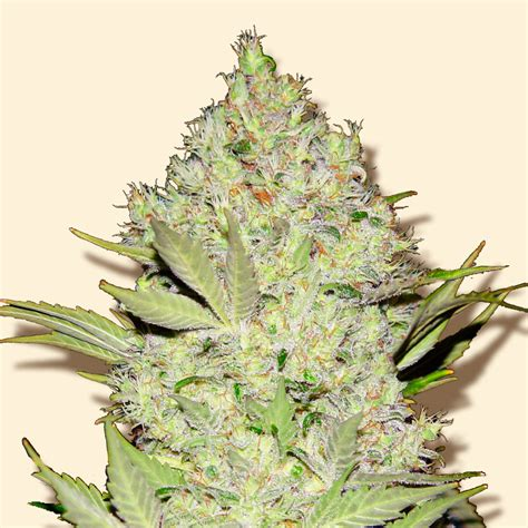 Chronic (by Bulk Seeds) :: SeedFinder :: Strain Info