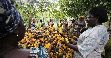 Cocoa production and exports plunge in the Ivory Coast