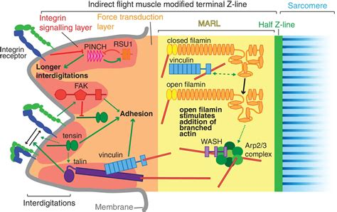 Novel functions for integrin-associated proteins revealed