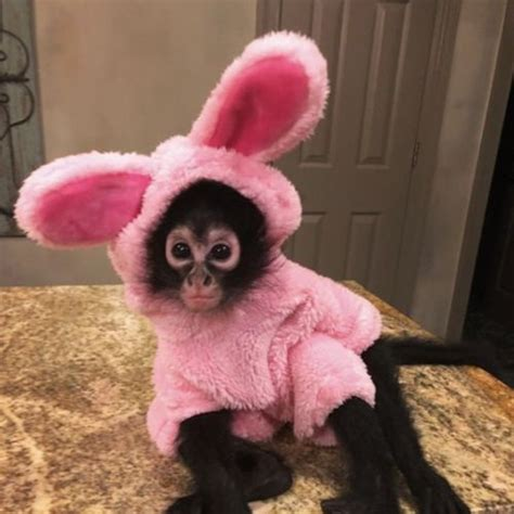 Looking for experienced Monkey sitter! - Pet Sitter Job in