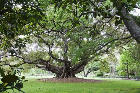 The Oldest Fig Tree in the Garden | Magnificent, rooty