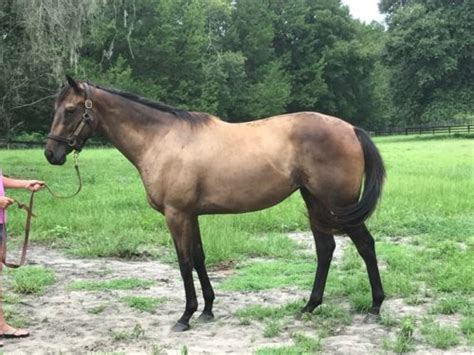 Two Year Old Filly by In Summation - SOLD - Equinegateway