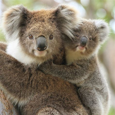 Koalas' chlamydia woes compounded by virus | University of