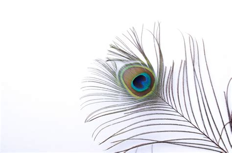 Peacock Feather Free Stock Photo - Public Domain Pictures